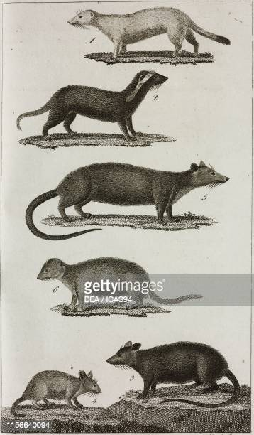 1 Ermine 2 Grison or Grey Weasel 3 Rat 4 Field Mouse 5 Perchal Rat 6 Scherman or Strasburg WaterRat engraving from Le opere di Buffon by GeorgesLouis...