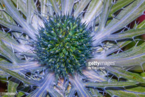 Eryngium Alpinum 'Blue Star' Flower