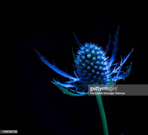 Eryngium Big Blue Sea Holly