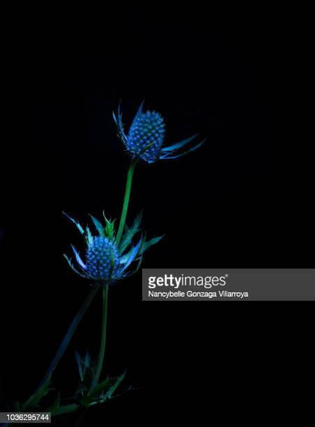 eryngium big blue sea holly - north america stock pictures, royalty-free photos & images