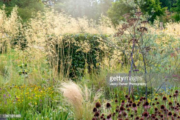 eryngium × tripartitum tripartite eryngo also known as sea holly, blue flowers planted with stipa gigantia grasses - sunlight stock pictures, royalty-free photos & images