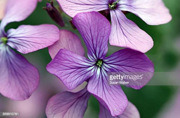Erysimum Bowles perennial wallflower