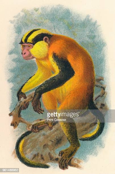 Erzleben's Genon' 1897 From Lloyd's Natural History Monkeys Part IV by Henry O Forbes LLD FZS C and edited by R Bowdler Sharpe LLD FLS c [Edward...