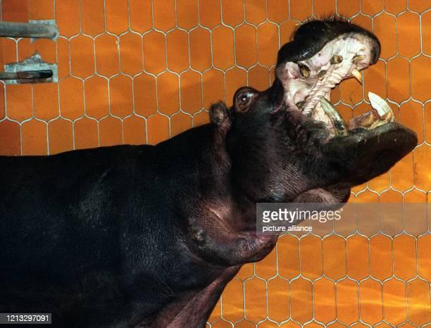 Es hat eine ziemlich große Klappe, das Nilpferd Maria aus Leipzig, das seit dem 5. Dezember im Münchner Tierpark Hellabrunn zuhause ist. Das vier...
