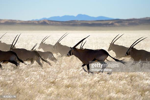 Escaping Oryx herd