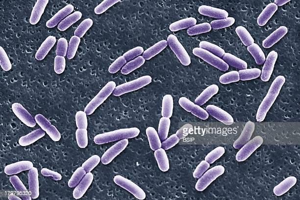 Escherichia Coli Sem Scan Electron Micrography