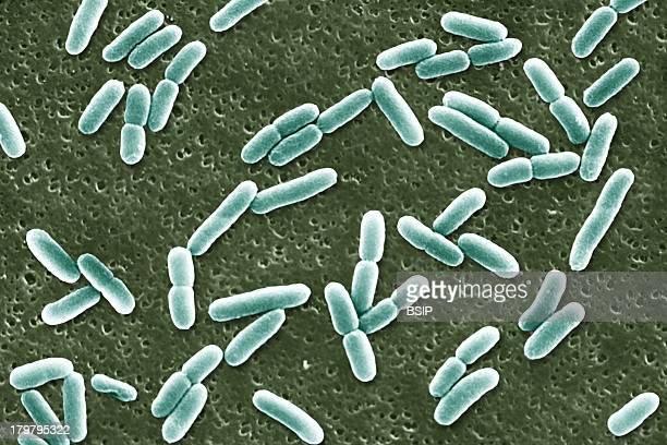 Escherichia Coli, Sem, Scan Electron Micrography.