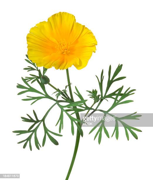 eschscholzia. - poppy stock pictures, royalty-free photos & images