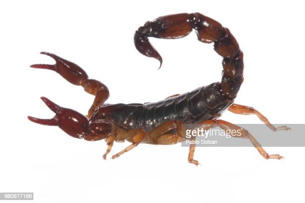Escorpion atacando #2