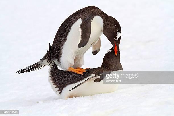 Eselspinguin Antarktis
