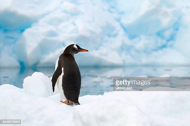 Eselspinguin auf Eisscholle in der Antarktis
