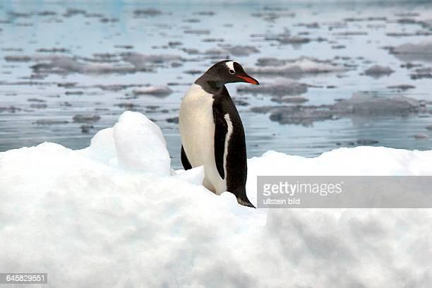 Eselspinguin auf Eisscholle mit Spiegelbild Antarktis
