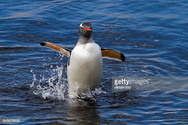 Eselspinguin kommt aus dem Meer Antarktis