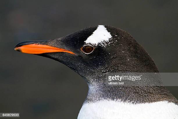 Eselspinguin Portrait Antarktis