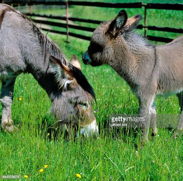 Eselstute mit Fohlen grast auf sommerlichen Koppel