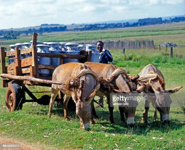 Eseltroika drei Esel vor einem zweiraedrigen Karrenwagen mit Milchkannen und afrikanischem Gespannfuehrer