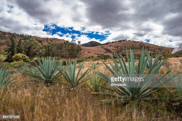 espadilla agave plant - oaxaca stock photos and pictures