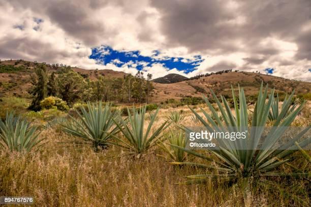 Espadilla Agave plant