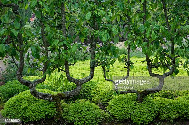 espaliered pear trees - ille et vilaine stock pictures, royalty-free photos & images