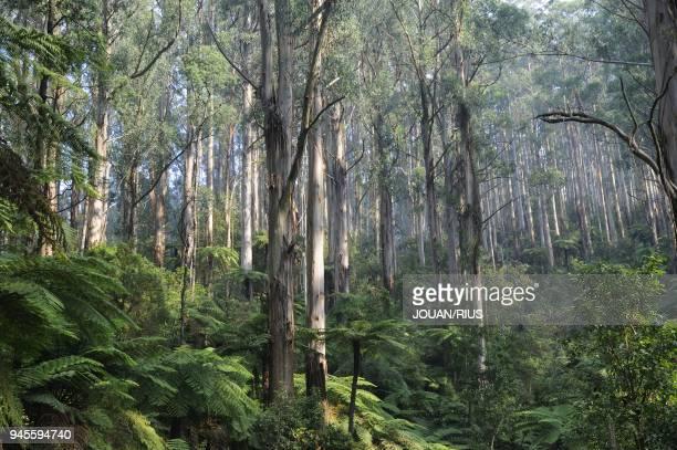 Espece d'eucalyptus qui peut atteindre 75m de hauteur