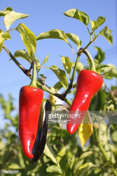 Espelette chilli peppers on a plant