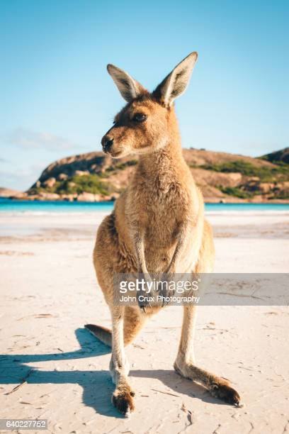 Esperance beach Joey Kangaroo
