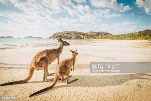 esperance beach kangaroos - australia stock pictures, royalty-free photos & images