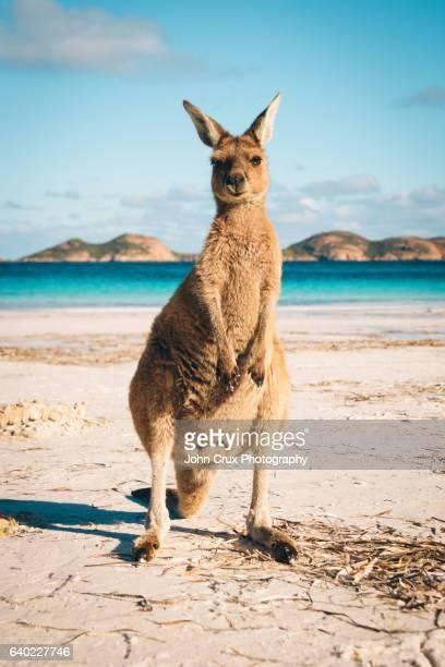 Esperance Kangaroo Lucky Bay