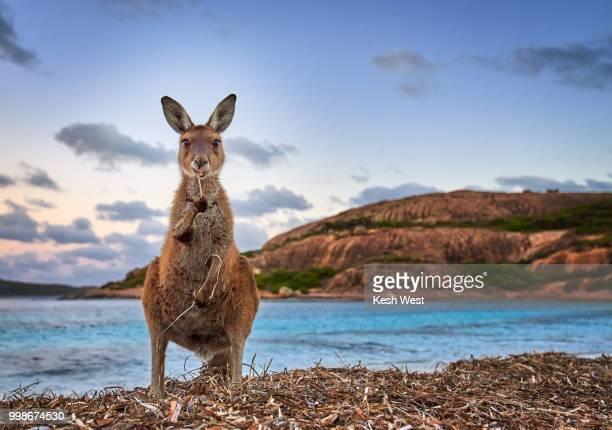 Esperance Kangaroo