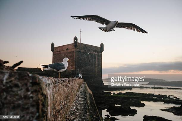 essaouira harbour scala seagulls at sunset - christine wehrmeier stock pictures, royalty-free photos & images