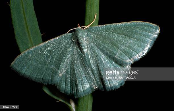 Essex emerald Geometridae