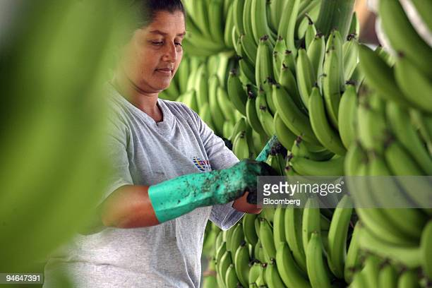 Ester Vidal picks the flowers off the bananas before they are washed in Hacienda Norma Guisella Ecuador on Aug 15 2007 The plantation is owned and...
