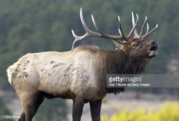 Estes Park Colo Tues Oct 8 2002A bull elk bugles to attract females and to intimidate other males at Rocky Mountain National Park in Estes Park Colo...