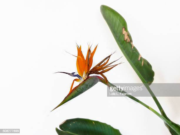 Estrelitzia