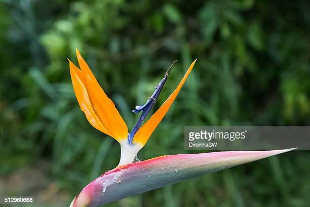 Estrelítzia – Strelitzia reginae Flower.