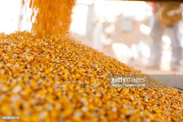 Estrem Farms corn harvest