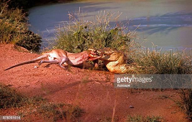 Estuarine crocodile Crocodylus porosus feeding on a wallaby seized when it came to drink Northern Territory Australia