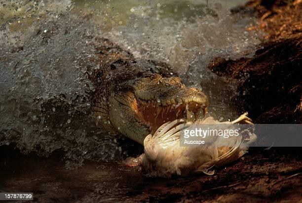 Estuarine crocodile lunging for a Magpie goose Northern Territory Australia