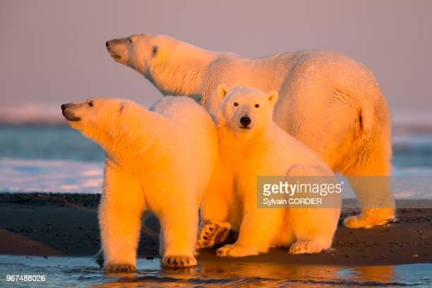 Etats Unis , Alaska , Refuge faunique national arctique , Kaktovik , ours polaire , femelle et deux petits de l'année.