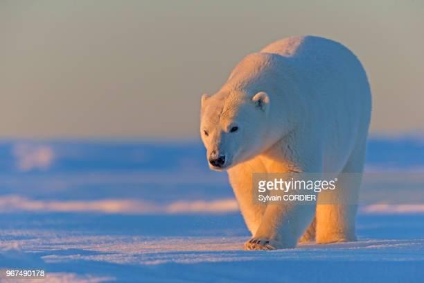 Etats Unis Alaska Refuge faunique national arctique Kaktovik ours polaire femelle et deux petits de l'année