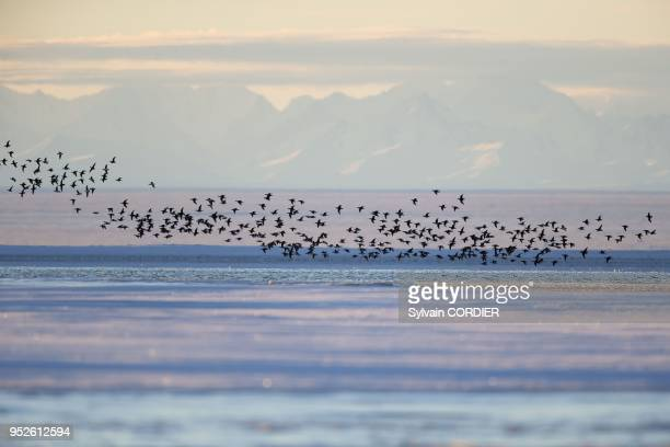 Etats Unis Alaska Refuge faunique national arctique Kaktovik vol de Harelde boreale au fond la chaine de montagnes des Brooks United States Alaska...