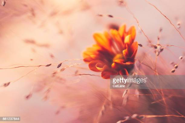 Ethereal looking ornamental grass with orange dahlia