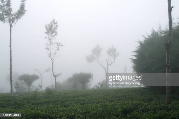 ethereal tropical trees rising out of tea plantations standing in fog, sri lanka - argenberg fotografías e imágenes de stock