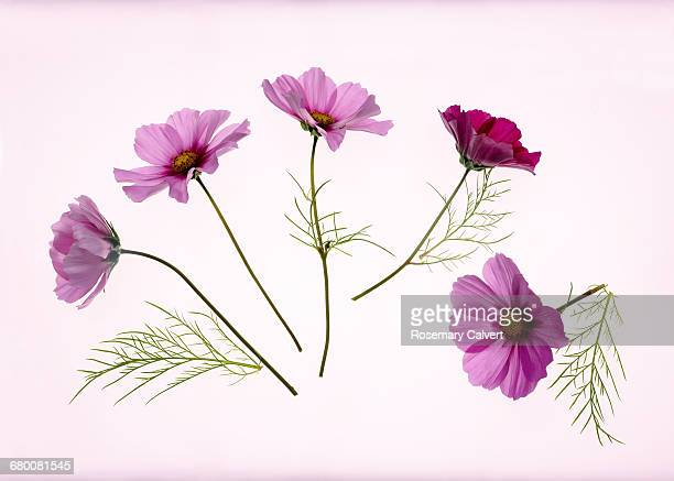 Etherial pink cosmos flowers with leaves.