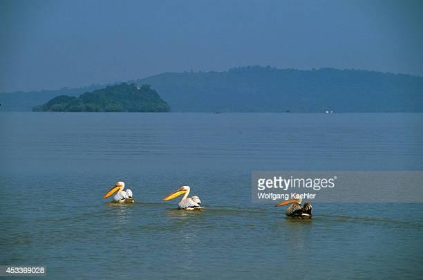 Ethiopia Bahar Dar Lake Tana Pelicans