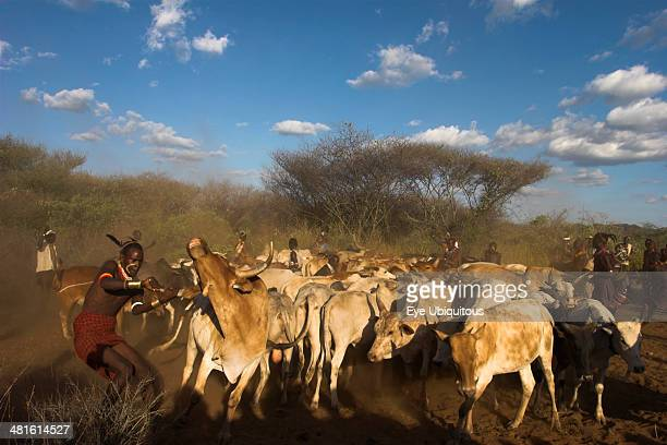 Ethiopia Lower Omo Valley Tumi Hama Jumping of the Bulls initiation ceremony maneuvering the cows and bulls into place ready for the jumping