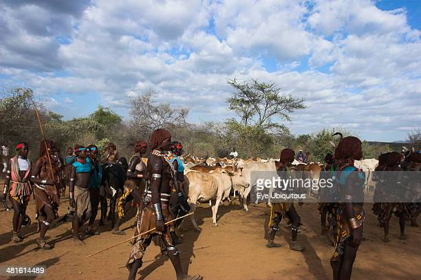 Ethiopia Lower Omo Valley Turmi Hama Jumping of the Bulls initiation ceremony Ritual dancing around cows and bulls before the initiate does the...