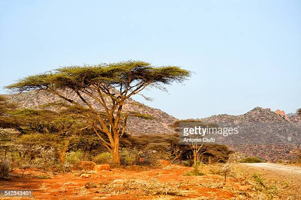 Ethiopian landscape with acacia trees