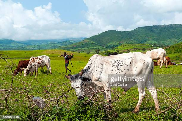ethiopian man with cattle in field near gondar - east africa stock photos and pictures