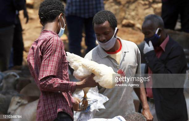 Ethiopian Orthodox arrive at Kotebe animal bazaar to buy cow sheep goat and chicken after they have done fast for 55 days staying away from animal...